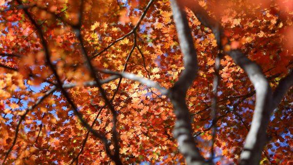 モロクボ平の紅葉。